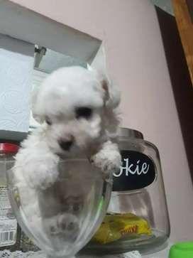 Funny Animals Life Recommended For You Descubre La Mejor Forma De Comprar Online Poodle Animales Mascotas En Panama Olx P French Poodles Poodle Poodle Puppy