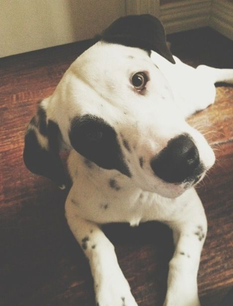 Dalmatian Beagle Mix Foster Adopt Dalmatian Mix Dog Pounds