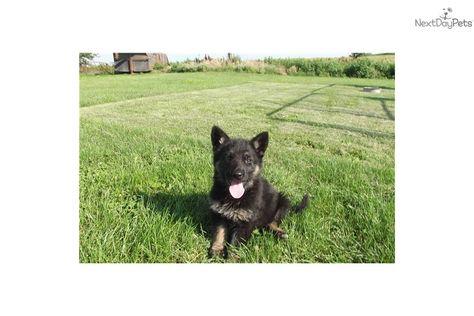Wolf Hybrid Puppy For Sale Near Omaha Council Bluffs Nebraska