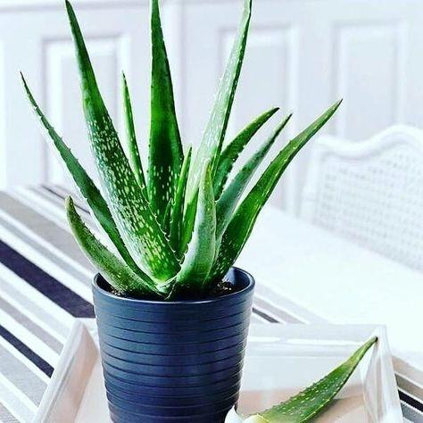 Piante Da Appartamento Aloe Vera.Come Coltivare L Aloe Vera In Vaso O In Giardino Nel 2020 Pianta