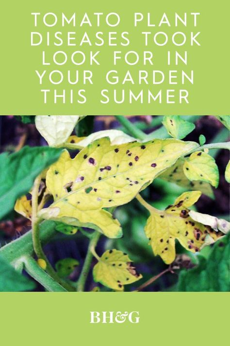 Diseases like leaf spots and blights can pop up and ruin your garden party. Don't let these potential problems scare you away, though. Growing healthy tomato plants is relatively simple when you plant disease-resistant varieties, space plants properly, mulch, and water at least 1 inch per week. #tomatogarden #whatswrongwithmytomatoes #tomatoplants #tomatoplantproblems #gardeningtips #bhg