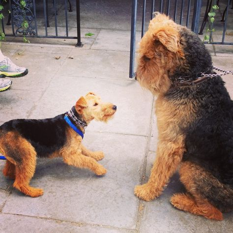 Mini me!! -Welsh terrier and Trevor the Airedale