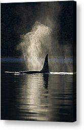 An Orca Whale Exhales Blows by John Hyde - An Orca Whale Exhales Blows Photograph - An Orca Whale Exhales Blows Fine Art Prints and Posters for Sale