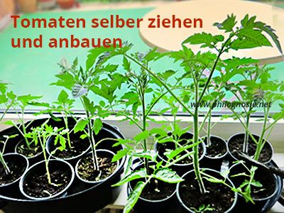 Tomaten Anbauen Tomaten Selber Ziehen Pflanzen Philognosie Tomaten Anbauen Tomaten Pflanzen Tomaten Sorten