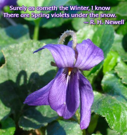 Surely As Cometh The Winter I Know There Are Spring Violets Under The Snow R H Newell Spring Early Spring Winter