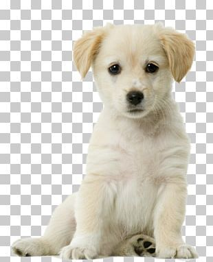 Puppy Png Images Puppy Clipart Free Download Puppy Sitting Yellow Labrador Retriever Pug Puppy