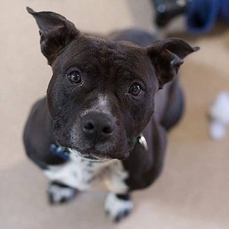 Adopt From Our Sanctuary Pitbull Terrier Pitbulls Bull Terrier Dog