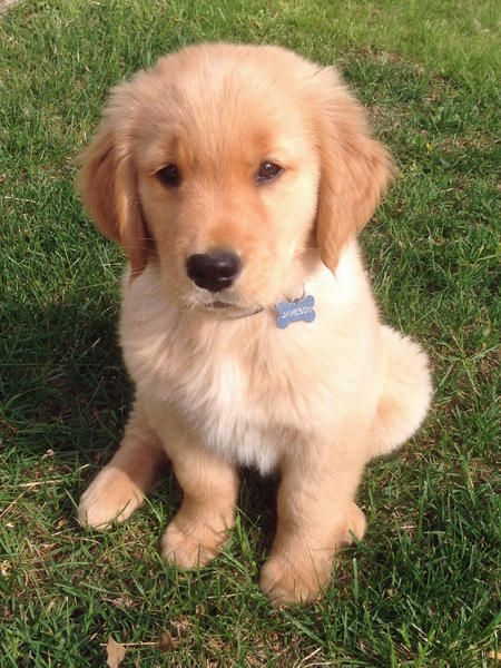 Jameson The Golden Retriever I Promise I Ll Learn To Guard You
