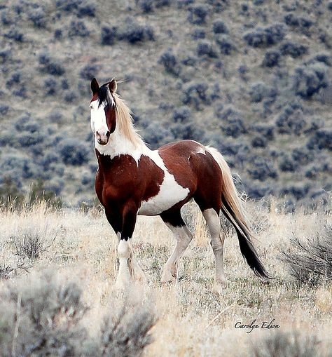 War Eagle - mustang of the South Steens, OR Wild horse stallion Étalon cheval sauvage All The Pretty Horses, Beautiful Horses, Animals Beautiful, Cute Animals, Wilde Mustangs, Cheval Pie, Majestic Horse, Tier Fotos, Horse Pictures