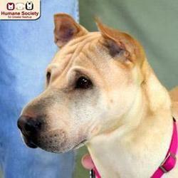 Nashua Nh Shar Pei Meet Harley A Dog For Adoption Dog Adoption Dogs Cat Adoption