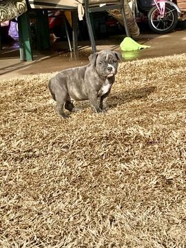 American Bully Mikelands Puppy For Sale In Oklahoma City Ok Adn