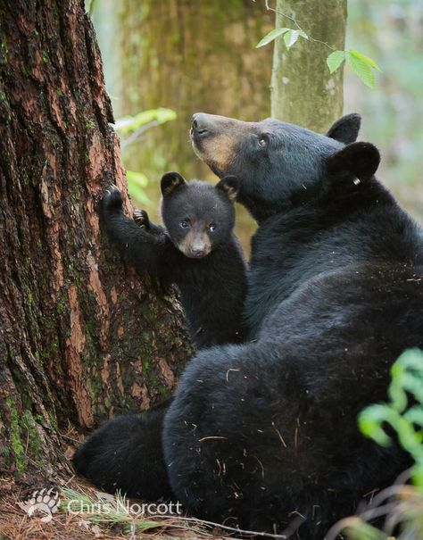 mother bear and her young cubs