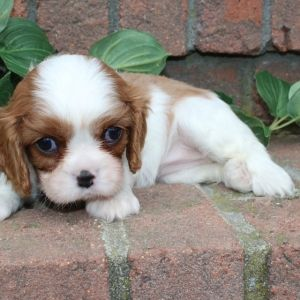 Financing Available Puppyspot King Charles Cavalier Spaniel Puppy Spaniel Puppies For Sale Cavalier King Charles Spaniel