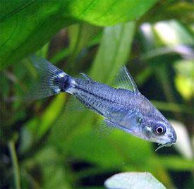 Corydoras Hastatus Dwarf Corydoras Pygmy Corydoras Aquarium Catfish Tropical Freshwater Fish Fish