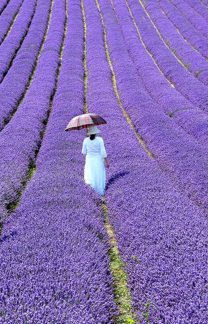 Lavender Fields in Sussex, England