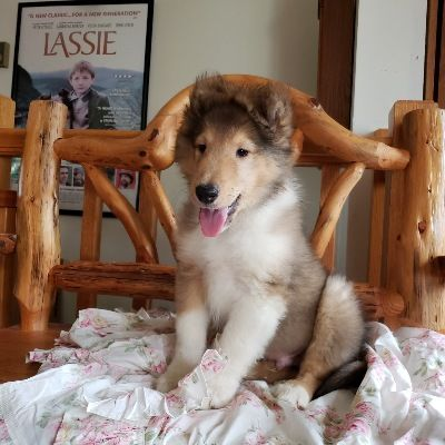 Collie Puppies Collie Puppies Collie Puppies For Sale Puppies
