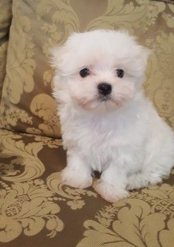 Maltese Puppy For Sale In Fullerton Ca Adn 69322 On Puppyfinder Com Gender Male Age 8 Weeks O Maltese Puppies For Sale Maltese Dogs Teacup Puppies Maltese