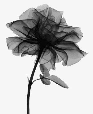 Rose Noire Tatouage Noir Et Blanc Fleur Noir Et Blanc Et