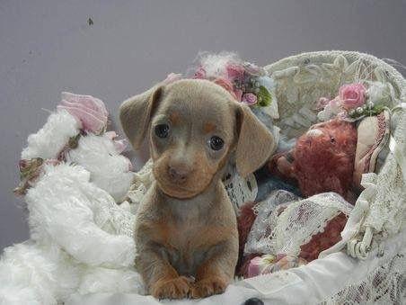 Baby Dachshund Dachshund Dachshund Puppies Baby Dachshund