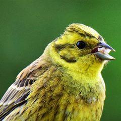 Yellowhammer Snacktime #Nature #Wildlife #Birds #Yellowhammer #closeup #portrait #instagram #Photography #allnatureshots #nikon #animals #birdphotography #birdwatching #yellow #bestbeautifulbirds