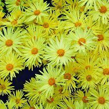 Gethsemane Moonlight Hardy Garden Mum for sale buy Chrysanthemum 'Gethsemane Moonlight'
