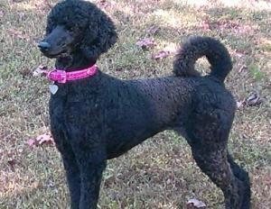 Adopt Mason On Dogs Poodle Australian Cattle Dog