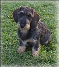 Wire Haired Dachshund Puppies For Sale With Images Wire Haired