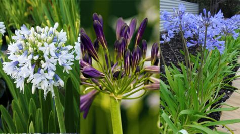 Agapanthus Varieties Greenhouse Plants Plants Drought Tolerant Plants