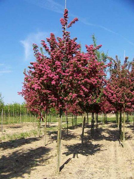 Crataegus Laevigata Paul S Scarlet Echter Rotdorn Gunstig Kaufen Rotdorn Pflanzen Garten Bepflanzen