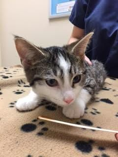 Adopt Waffles On With Images Feline Humane Society Short Hair Cats