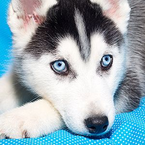 A Cute Husky Puppy With Blue Eyes 8 Pictures With Other Cute Animals Very Cute Dogs Cute Animals Puppies Cute Husky Puppies
