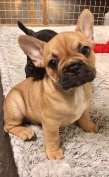 French Bulldog Puppy For Sale In Austin Tx Adn 65557 On