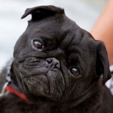 Fun Facts About Small Dog Breeds Black Pug Pugs Black Pug Puppies