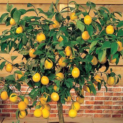 Dwarf Meyer Lemon Gurney S Seed Nursery Co Indoor Lemon Tree Meyer Lemon Tree Citrus Trees