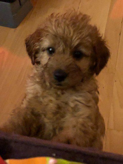 Red Cavapoo Pups Liverpool Merseyside Pets4homes In 2020 Cavapoo Poodle Poodle Puppy