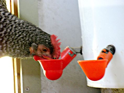 Natural Chicken Keeping Comparison Of Poultry Cup Drinkers Chicken Feeders Chicken Diy Chicken Feed