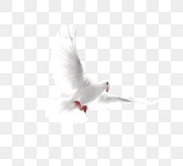 A White Dove Vector Material White Pigeon Vector Png Transparent Clipart Image And Psd File For Free Download Paloma De La Paz Pajaro Silueta Pajaros Volando
