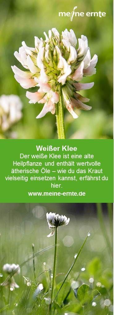 Gewürz und  Heilpflanze Knoblauchsrauke Salat Lauckraut 60 Samen