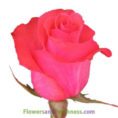 Pink Love Is A Exclusive Variety For Its Defined Colors Hot Pink Weddingtrends Pink Roses Wedding Hot Pink Roses Pink Roses