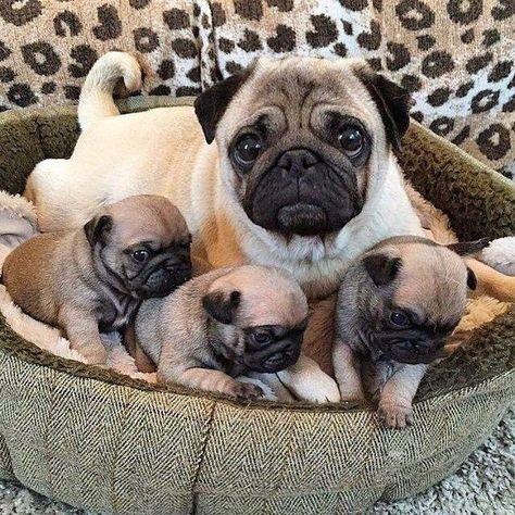 Mom Is The Best Friend Of Her Children Pug Pugs Puglia Puggle