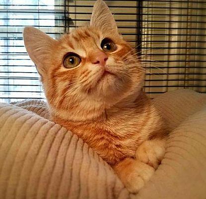 Benton La Domestic Mediumhair Meet Hazel A Pet For Adoption Cat Adoption Siberian Cats For Sale Pet Adoption