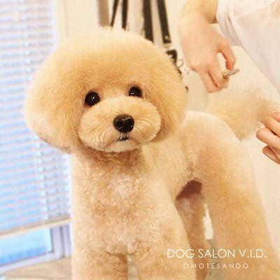 トイプードル ティーカッププードルのテディベアカットが人気のトリミングサロン東京表参道v I D トリミングカット写真集 ドッグカフェ Jp Dog Grooming Styles Puppy Grooming Cute Dogs
