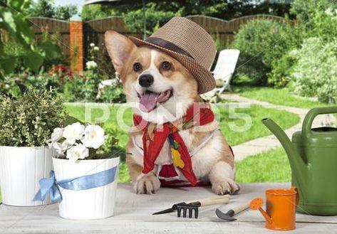 Portrait of a Welsh corgi Pembroke dog in a hat ~ Premium Photo #61169699