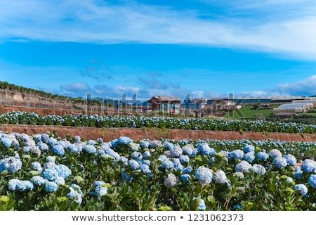 Field Of Hydrangeas Flowers These Beautiful Flowers Are Grown At Land Da Lat Vietnam Co Hinh ảnh