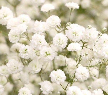 Gypsophila Paniculata Snowflake Gypsophila Flower Aesthetic Types Of Flowers