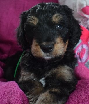 Litter Of 8 Bernese Mountain Poo Puppies For Sale In Winter