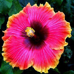 Hibiscus Flower Benefits In Tamil Hibiscus Hibiscus Plant Hibiscus Flowers Hibiscus Rosa Sinensis