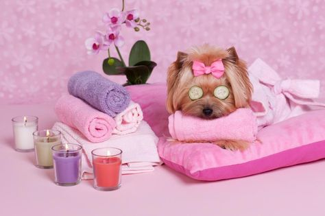 Pampered Yorkie Dog Grooming Business Dog Grooming Yorkshire Terrier Dog