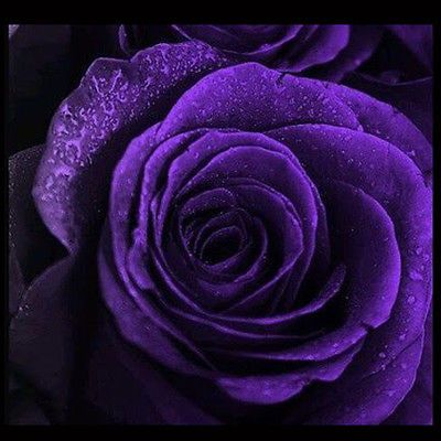 High Quality Rare 50pcs Purple Rose Seeds Garden For Your Lover Decorations