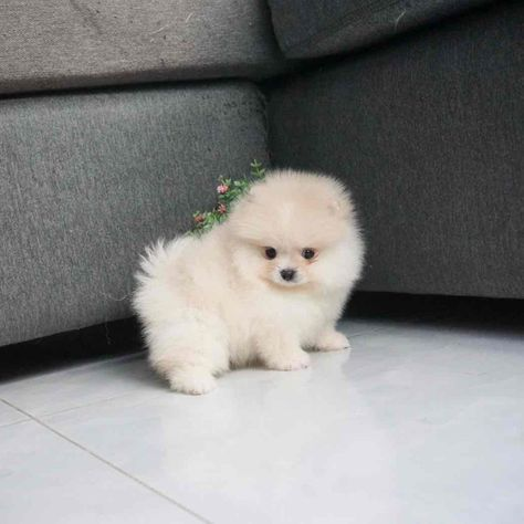 White Cream Male (Reserved by NATALIE) — Teacup Pomeranian Puppies For Sale
